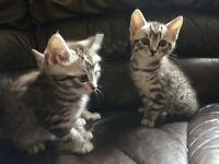 British shorthair x Siamese kittens