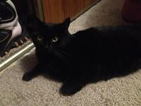 Lovable black cat looking for a home