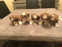 Shih tzu puppies for sale.. 1 boy left