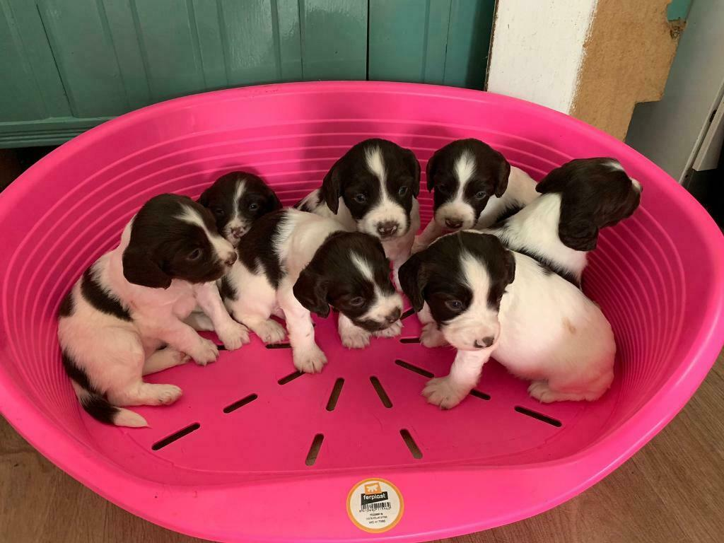 Kc Registered Springer Spaniel Puppies