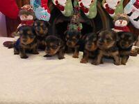 Miniature yorkie pups.