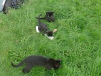 KITTENS FOR SALE £55 FOREVER HOMES ONLY READY TO GO NOW