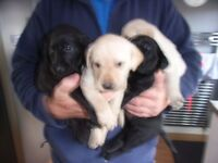 Labrador Pups Golden and Black