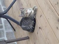 Male Tabby Kitten Looking for a Good Home