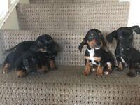 Dachshund x Jack Russell Terrier