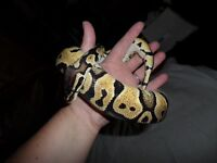 Female pastel Royal Python with Vivarium