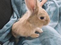 Rabbit for sale in Uxbridge