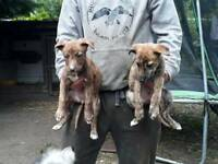 Belington whippet greyhound x bull greyhound