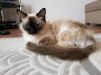 Ragdoll Cat, 12monts old Female