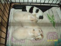 chihuahua pups pedigree