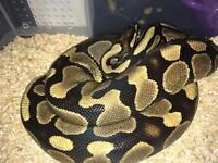 Royal python 2yr old