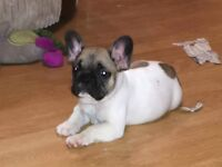 Male KC registered French bulldog puppy