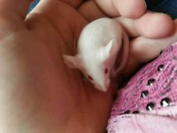 baby mouses