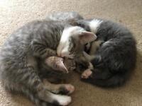4 Male kittens - 8 weeks old