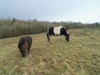 **5 Star** Home Wanted For Shetland Pony