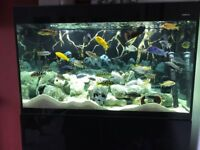 Aquael Glossy 100 - Full Malawi Cichlid Set Up