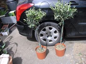 2 Olive Trees Lollipop Style and 10 Additional Garden Plants Weymouth
