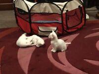 4 white kittens part rag doll beautifull