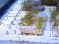 Yellow Zoa Coral Frags, marine aquarium,