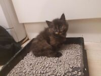 Beautiful Long haired kitten for sale