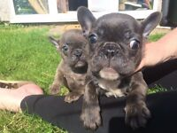 beautiful blue french bull dogs for sale