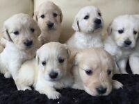 Adorable Golden Retrievers
