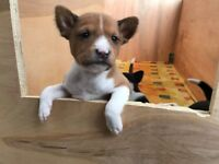 Basenji puppies, pure breed but not KC registered!