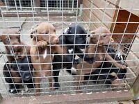 Patterdale terriers x lakeland terriers