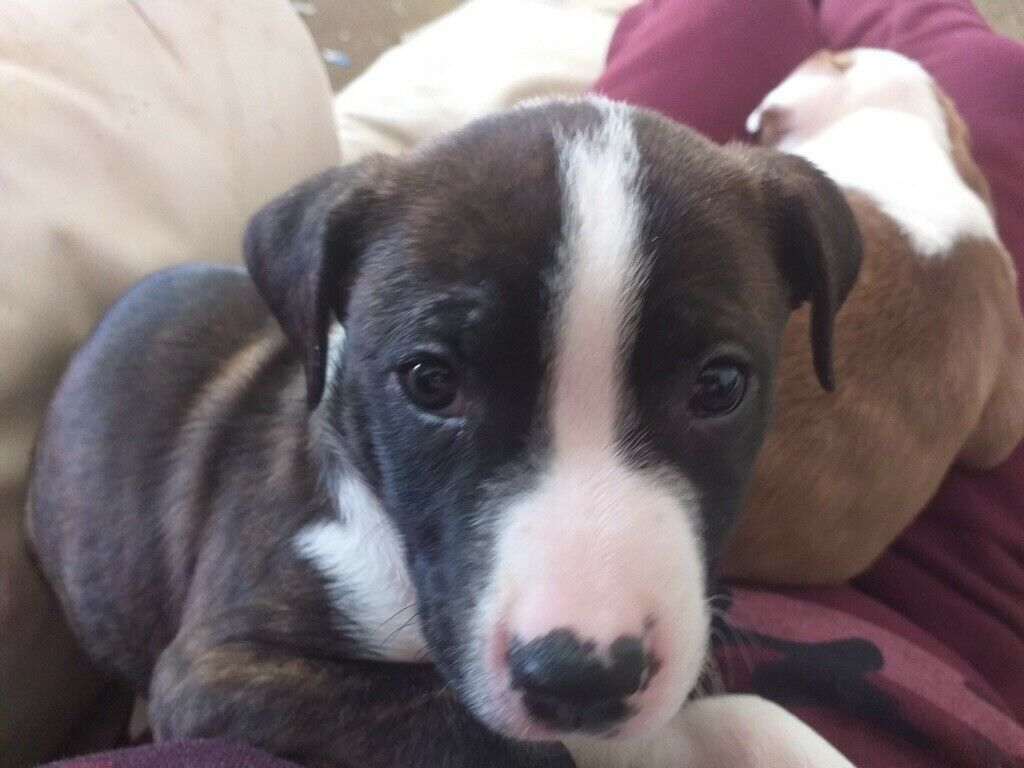 American Bulldog Puppy In Newbridge Newport Gumtree