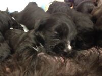 Jackapoo pups for sale 3 girls 4 boys
