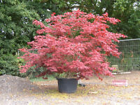 ACER PALMATUM BLOODGOOD,AWESOME JAPANESE ACER 25 YEARS OLD 150lt POT 3.5m TALL,m 3M WIDE,PLANT NOW.
