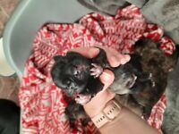 Jug/french bulldog puppies