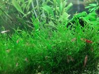 Flame moss for tropical aquarium - SNAILS FREE - ideal for shrimps - only £4