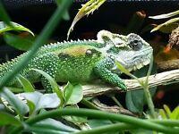 Dwarf Lizard for sale