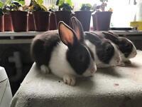 Baby chocolate Dutch rabbits