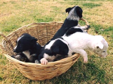Border Collie pups for sale Yeoval Cabonne Area Preview
