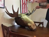 Taxidermy antique moose trophy head