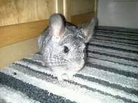 Handsome 9 month old male chinchilla