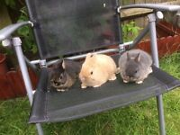 Netherlands Dwarf babies rabbits 8 weeks old.