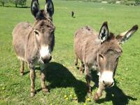 Standard Donkeys for sale