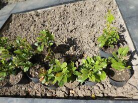 14 Evergreen Laurel Hedging Plants