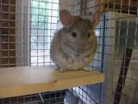 CHINCHILLA FOR SALE 3 MONTHS OLD BEIGE.