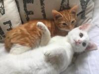 11 weeks old kittens (inseparable pair)