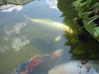 Mature koi carp for sale. Any genuine offers will be considered