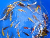 koi 3 to 4 inch koi nice bright vibrant fish see pictures