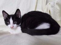 Black and White Kitten (Male)