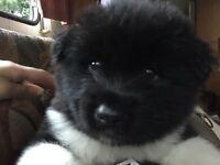 American Akita puppies mixed litter
