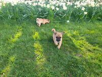 jug puppy 9 weeks old brown in couler