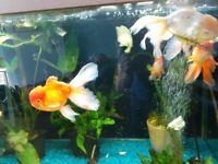 For sale Oranda Fish