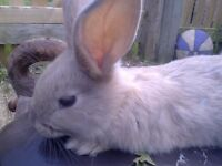 FRIENDLY YOUNG RABBIT JUST OVER 2 MONTHS OLD